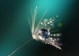 Beautiful dew drops on a dandelion seed macro.  Beautiful blue background. Large golden dew drops on a parachute dandelion. Soft dreamy tender artistic image form.