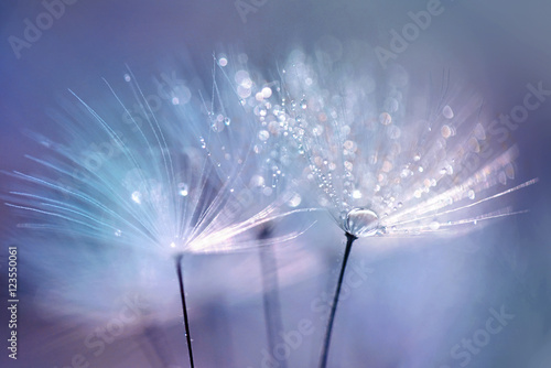 Fototapety, obrazy : Beautiful dew drops on a dandelion seed macro.  Beautiful blue background. Large golden dew drops on a parachute dandelion. Soft dreamy tender artistic image form.