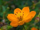красивый желтый цветок на размытом фоне, Биденс