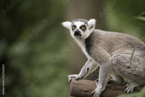Ring-tailed lemura Billede på lærred