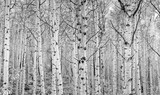 Fototapety Aspens In High Key