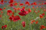 A field of bright, red poppies and wild flowers