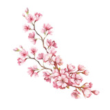 Branch of cherry blossoms. Hand draw watercolor illustration