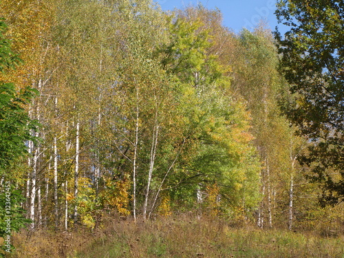 The October cloudless day, a young birch forest on the hillside