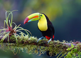 Keel-billed toucan on branch in Costa Rica - 123642654