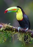 Keel-billed toucan on branch in Costa Rica - 123642695