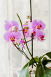 Phalaenopsis pink orchid decorative plant by the window