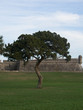 Tree at Fort Matanzas