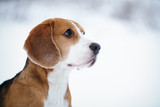 cute beagle dog outdoor portrait in winter