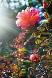 Rose flower in rays of sunset