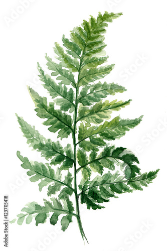 Fern painted with watercolors on white background. Green forest plants branch. Forest herb - 123705418