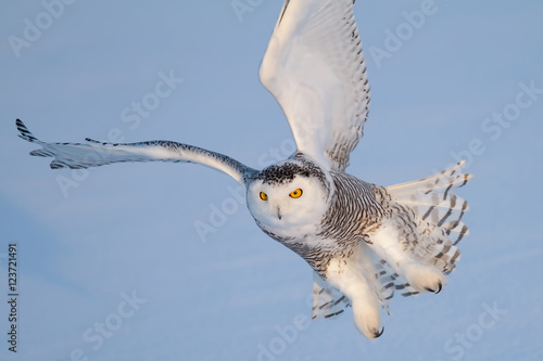 Snowy owl hunting over a snowy field