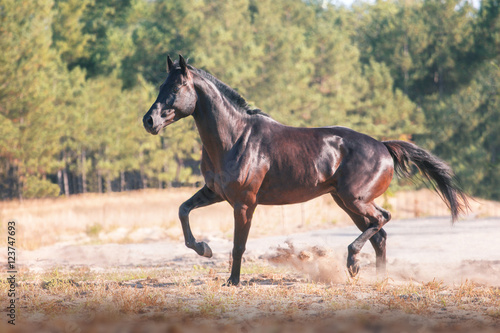 Black horse run on a forest  background on the sand