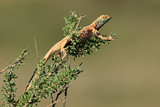 Male ground agama (Agama aculeata) in breeding colors on a branch, Kalahari desert, South Africa.