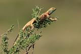 Male ground agama (Agama aculeata) in breeding colors on a branch, Kalahari desert, South Africa.