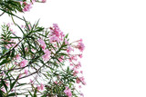 Sweet Oleander, Rose Bay, Pink flowers isolated on White background