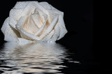 white rose water reflection