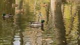 Утки осенью в пруду городского парка