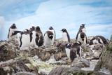 Gentoo penguins penguins penguins