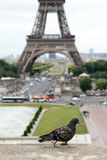 Pigeon on the wall in front of the Eiffel Tower