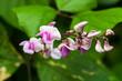 Fleur de la famille des Fabaceae