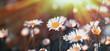 Beautiful daisy flower in meadow lit by sun rays - sunbeams
