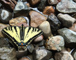 Butterfly on rocks, wet ground