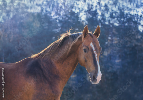 Dark gold horse portrait on nature background