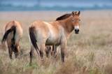 Przewalskii horse on field