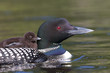 Common loon swimming with chick on her back