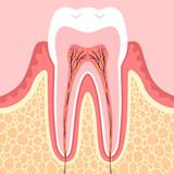 歯 構造図
