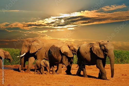 afrykanskiego-slonia-stado-loxodonta-africana-rozny