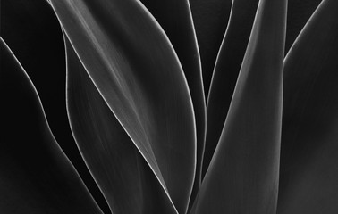 Dancing Agave