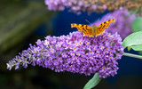 Comma butterfly feeding on a Buddleia flower in a Welsh garden. The Comma is relatively common in England and Wales, it