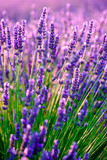Fototapety Blooming lavender in a field at Provence