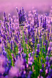 Blooming lavender in a field at Provence - 123932685