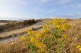 Fleurs sauvages Astéraceae du bord de mer sur le littoral breton