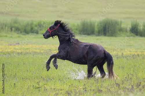 Black horse gallop in the floral wet meadow