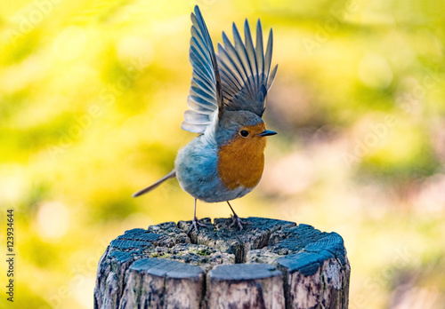 Leinwanddruck Bild small kingfisher with open wings at park in germany