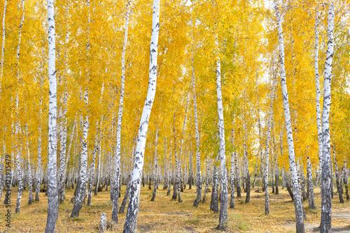 Fototapeta autumn birch forest