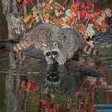 Two Raccoons (Procyon lotor) Elbows Deep in Water