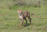 Adult male African Cheetah hunting for prey in Serengetti National Park