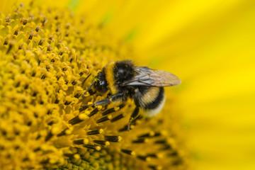 A Bee on a Sunflower (close-up shot)
