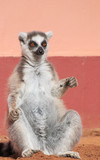 ring-tailed lemur (lemur catta) sunbathing next to a pink wall. lemurs of Madagascar.