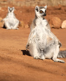 two ring-tailed lemurs (lemur catta) sunbathing in the morning. lemurs of Madagascar.