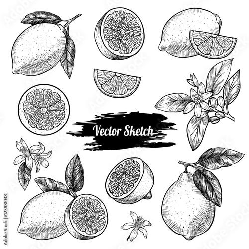 Vector lemons hand drawn sketch. Sketch vector  food illustration. Vintage style