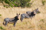lining up, three cape mountain zebra in national park, South Africa