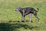 Cane levriero italiano grigio libero in un parco  cittadino