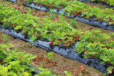 strawberry plants growing in the Po valley in Italy