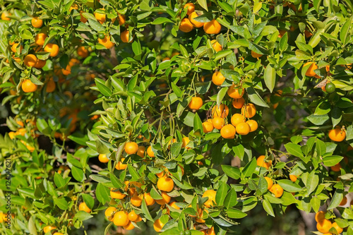 Poster Tangerine tree and orange colored citrus fruit in the garden with strong sun dur